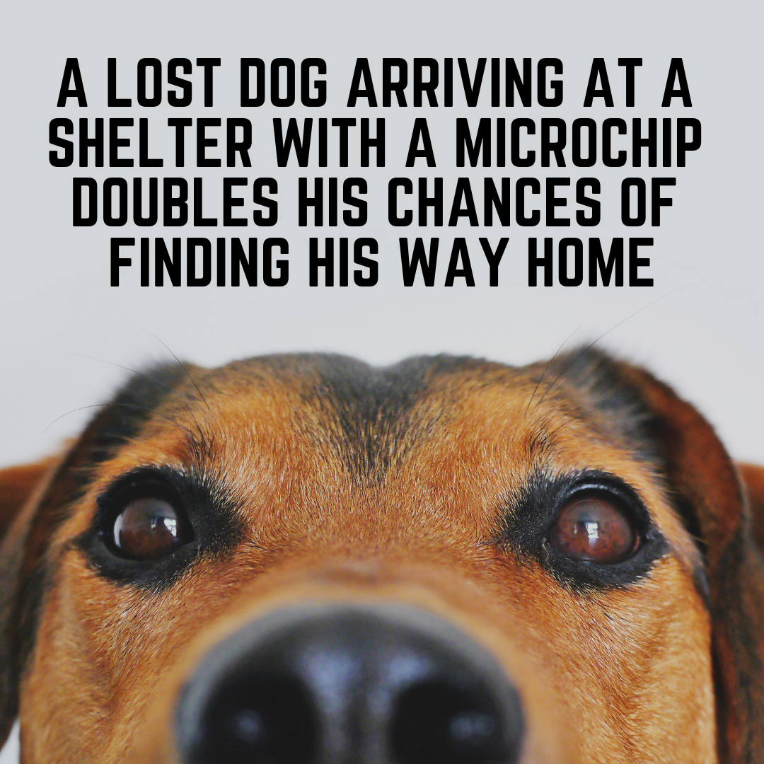 A lost dog arriving at a shelter with a microchip doubles his chances of finding his way home.