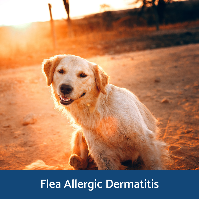 Information about flea allergic dermatitis