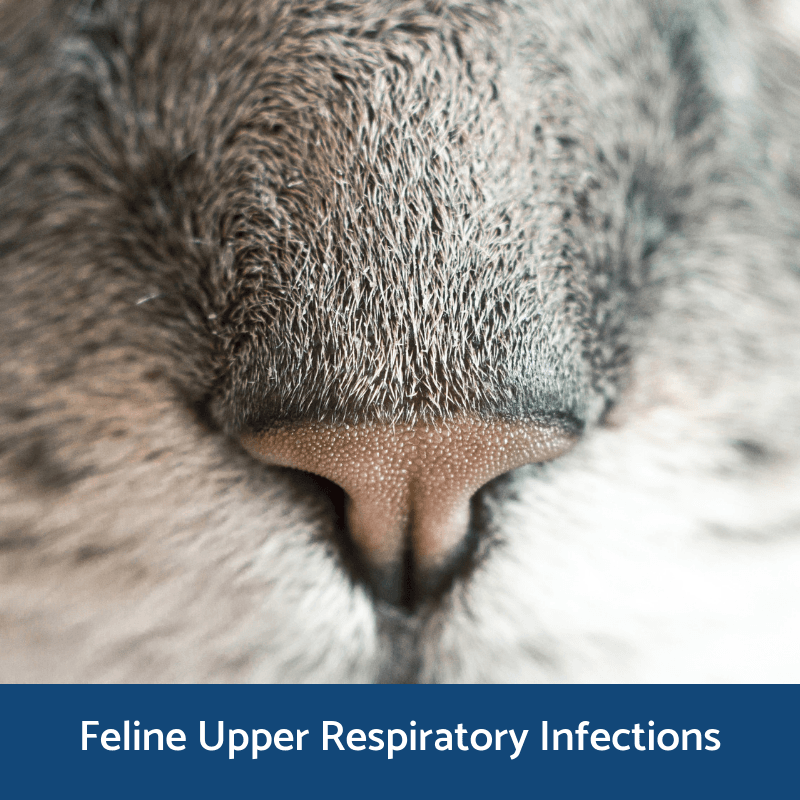 Information about upper respiratory infections in cats