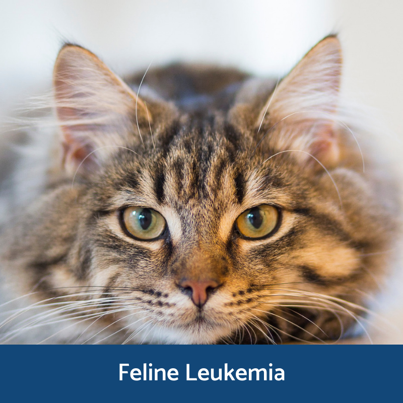 Information about feline leukemia