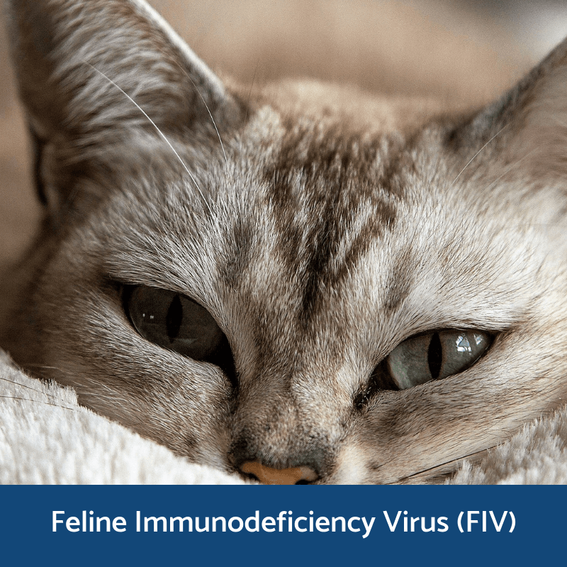 Information about feline mmunodecificency virus (FIV)