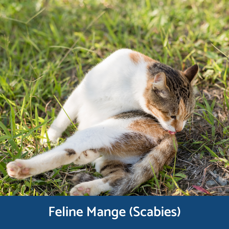 Information for feline scabies