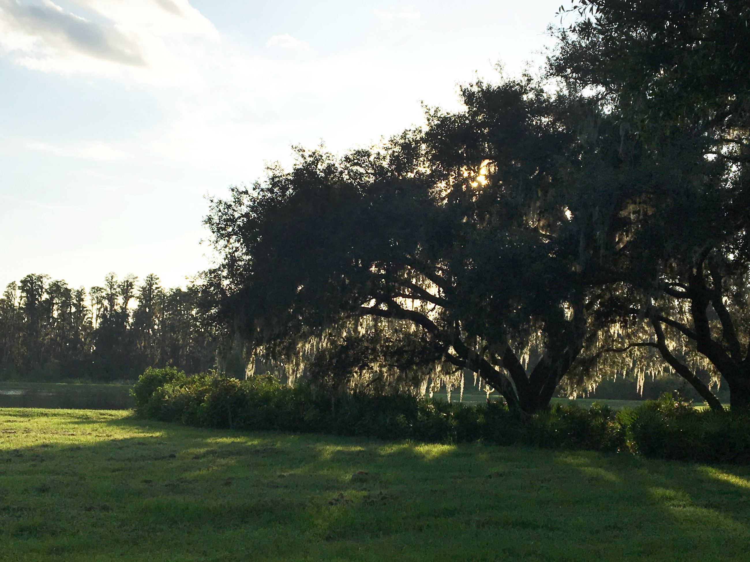 Sunset view of Live Oak tree with pond in the background